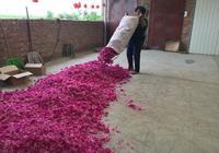 你知道農民在農村合作社採一天玫瑰花能掙多錢嗎?
