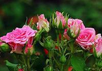 """""""4種""""花,扦插沒有技術含量,枝條沾土就活,個個都能開花爆盆"""