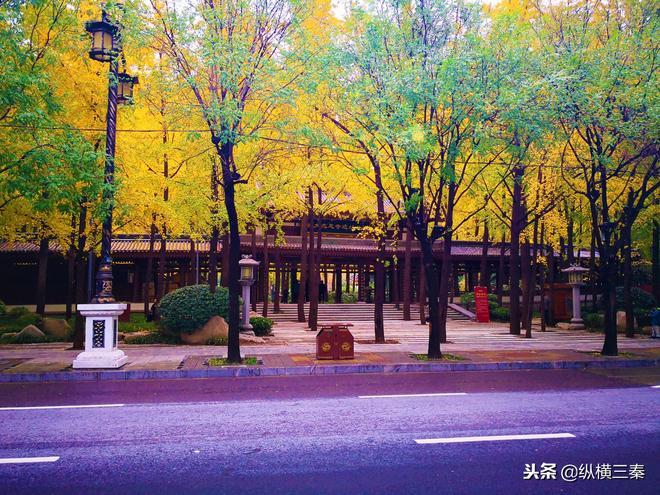 金秋欣賞銀杏樹只能去觀音禪寺?西安曲江這片銀杏林一點也不差