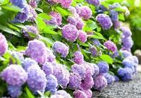 「美圖」繡球花,一種抱團的美!
