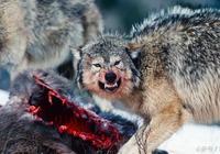 深山狼王(7):狼王的窩