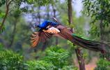 孔雀東南飛:你知道嗎?孔雀真的會飛,而且很好看~