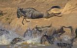 動物大遷徙,悲壯的征途!