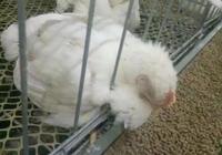 養雞——引起呼吸道疾病的幾點原因