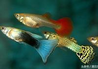 孔雀魚到底怎麼分類?最全孔雀魚分類全在這了,看完趕緊收藏