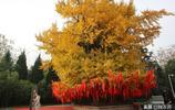 樓觀臺古銀杏樹沒成網紅,它比觀音禪寺的網紅銀杏樹年長千歲
