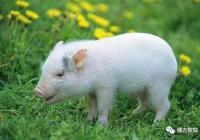 二師兄進化史:中國豬的前世今生