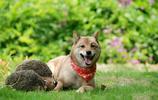 萌犬世界 超級可愛的柴犬