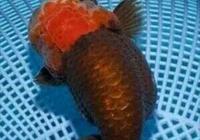 金魚在缸裡拋仔,會吃嗎?會吃孵化出來的小魚嗎?