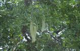 山西晉南小山村裡有棵千年古樹,人們都說樹上住著神仙