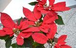 一品紅,灌木,根圓柱狀,極多分枝,秋季至冬季開放的花,山茶花的同類植物,聖誕節期間大放異彩