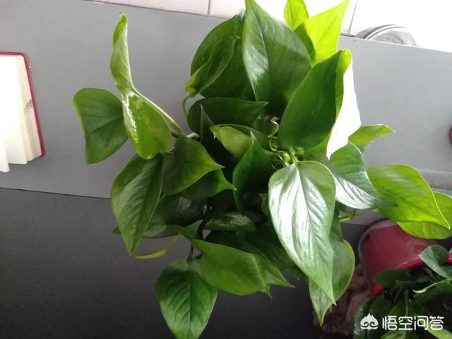 綠蘿的葉子有點黃,如何讓綠蘿長的更好?