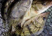 鱖魚和桂魚有什麼區別 鱖魚的別稱有哪些