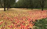 風暴過後,愛爾蘭的一個蘋果園,牛頓:還好沒趕上這波大