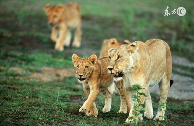 獅子座:等待會讓他們變得煩躁不安;獅子座:不浪費時間