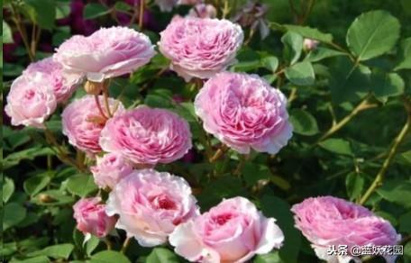 趁冬天對月季做一個小動作,來年春天月季只開花不生病!