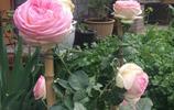 入手龍沙寶石儘量買大苗,我這株龍沙月季大苗入手後1月開花,1年就成了花牆