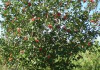 為什麼感覺今年的水果價格這麼貴,尤其是蘋果,感覺現在能吃得起蘋果的都是土豪了?