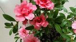 像山茶花一樣的杜鵑花你見過嗎?養的真漂亮
