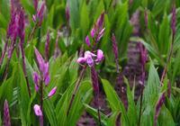 白芨:草藥裡的美白仙子