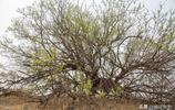 黃土崖上長一棵百年古茶樹,茶葉夠全村人喝,不知道這是啥品種