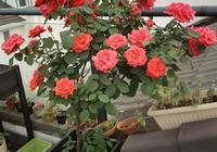 樹形月季可以養在盆裡嗎?怎麼做盆裡的樹月一樣開花有碗大?