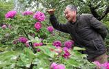山西7旬老人在蘋果園裡種牡丹,坐在地頭收門票,城裡人開車來看