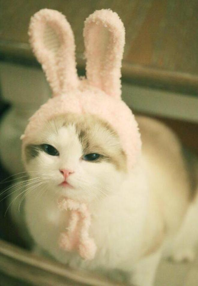 寵物圖集:布偶貓粉色小可愛