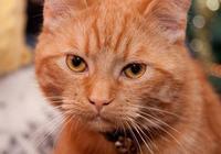 橘貓偷吃長太胖,主人不忍直視,直接把它丟出門了,橘貓:我錯了