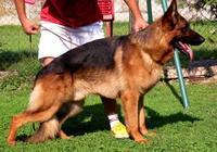德國牧羊犬,德國黑背的特色