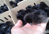烏骨雞兩個階段的飼養管理,把握好階段性,提高產蛋量