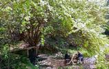 安徽歙縣:古木花開春滿枝