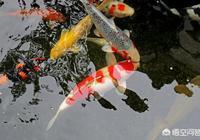 養錦鯉春天危險嗎,具體需要注意什麼?