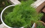 別隻養綠蘿吊蘭了,家裡種這4種香草盆栽,既能觀賞,又能食用