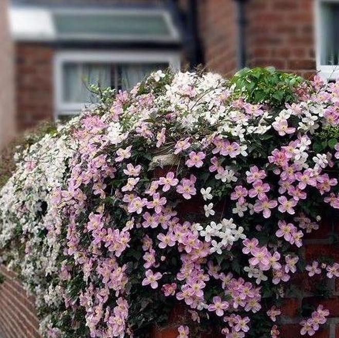 5款最為適合在陽臺種植的爬藤,待到花開,成為家中最浪漫的角落