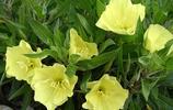 植物圖集:夜來香