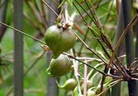 這竹子能長出梨,一斤上百元!還能套種花生、大豆,經濟價值巨大