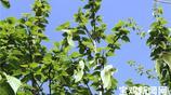 這種國家珍稀瀕危植物 在寶雞成功栽植並開花