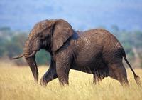 非洲人吃不吃大象?大象肉好吃嗎?