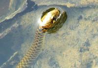 農村水田邊常見到的水蛇有沒有毒?它們主要是吃什麼呢?