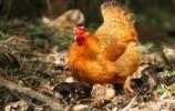 覓食中的雞咕咕一家