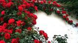 別再讓你的院子空著了,這8種爬藤隨手種下就能活,花開繁花似錦