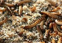 在農村創業養殖黃粉蟲,年純盈利20餘萬元