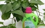 綠蘿1年長了10米長,養綠蘿成癮,老公問,綠蘿和我,你要誰