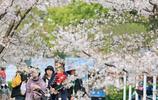 浙江嘉興這所大學櫻花如雪花飛舞,豔了大好春光,醉了賞花人的心