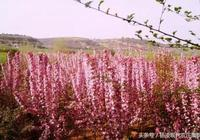 1301海棠農莊:楊凌唯一的海棠主題莊園!