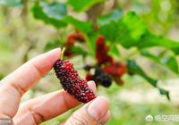 農村市場上的桑椹,是自然長黑的嗎?