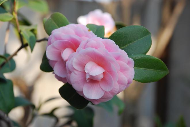 植物圖集:山茶花