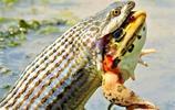 水蛇活吞牛蛙窒息而死