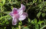 五顏六色的杜鵑花,杜鵑花也是很多人都喜愛的花種